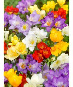 Freesia a fleurs simple melange