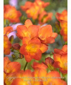 Freesia orange einfach
