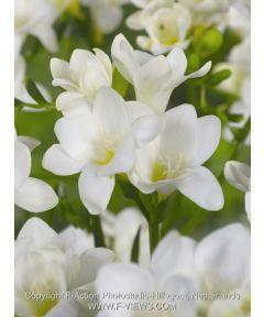 Freesia white single