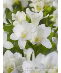Freesia white single