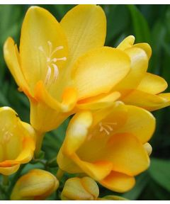 Freesia yellow single