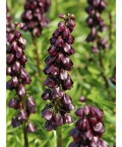 Fritillaria purple dynamite persica