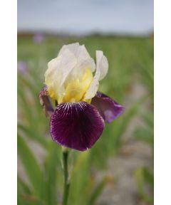 Iris salonique germanica