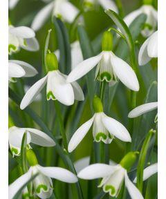 Galanthus nivalis einfachblumig
