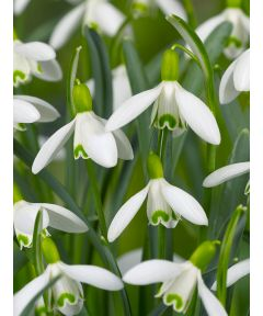 Galanthus nivalis single flowering