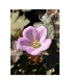Geranium dusky crug oxonianum