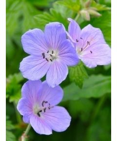 Geranium baby blue himalayense