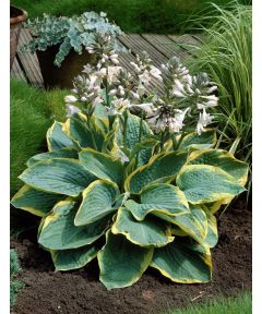 Hosta frances williams sieboldiana