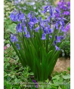 Hyacinthoides non-scripta  dutch grown