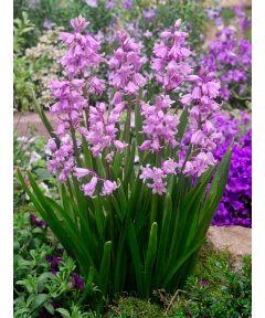 Hyacinthoides hispanica rosa