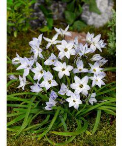Ipheion uniflorum wisley blue
