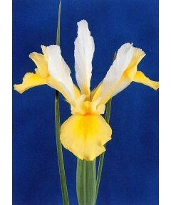 Iris apollo hollandica