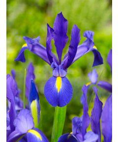 Iris blue magic hollandica