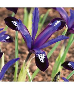 Iris blue note reticulata