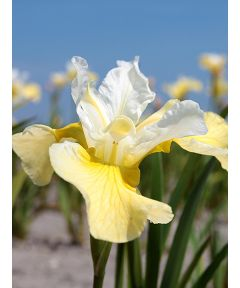 Iris chartreuse bounty sibirica
