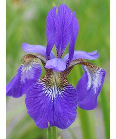 Iris elfe sibirica