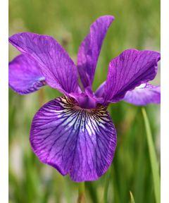 Iris ewen sibirica