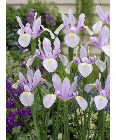 Iris carmen hollandica