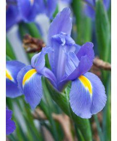 Iris discovery hollandica