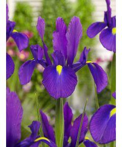Iris discovery purple hollandica