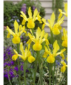 Iris golden harvest hollandica