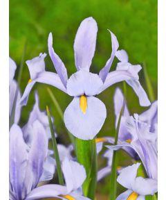 Iris skydiver hollandica