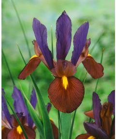 Iris tigereye hollandica