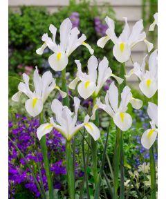 Iris nofa white hollandica