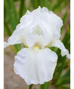 Iris immortality germanica