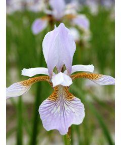 Iris mrs. rowe sibirica