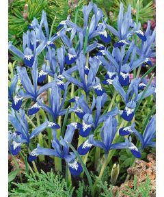 Iris clairette reticulata