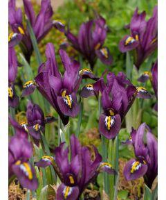 Iris j.s. dijt reticulata