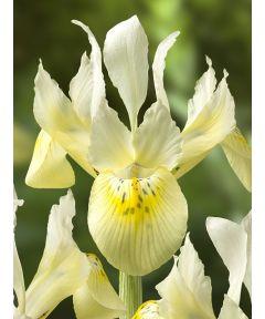 Iris katharine's gold reticulata