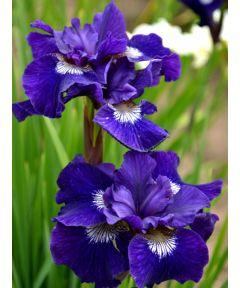 Iris shirley pope sibirica