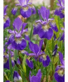 Iris claret cup sibirica