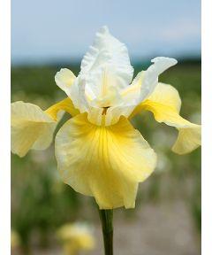 Iris summer revels sibirica