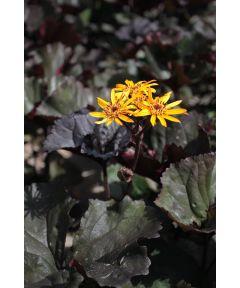 Ligularia britt-marie crawford