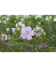 Geranium chatto maculatum