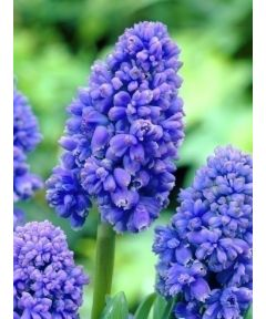 Muscari blue spike armeniacum