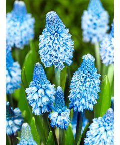 Muscari azureum blue