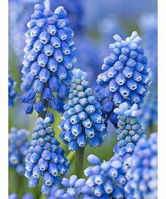 Muscari blue magic aucheri