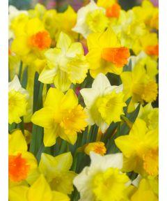 Mixed large flowering