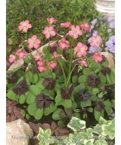 Oxalis iron cross