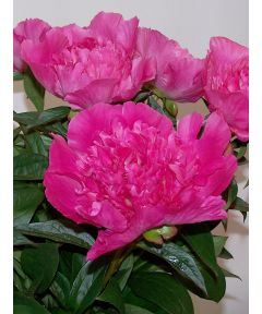 Paeonia bouquet perfect