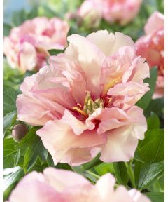 Paeonia canary brilliants