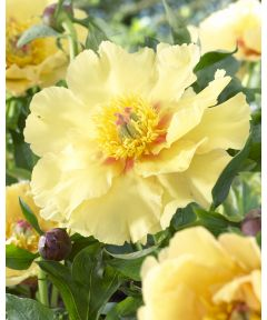 Paeonia garden treasure