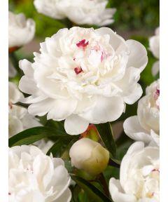 Paeonia festiva maxima