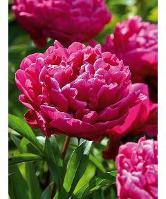 Paeonia karl rosenfield lact