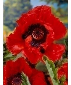 Papaver doubloons