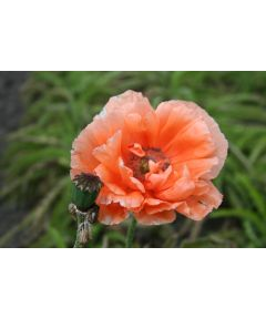 Papaver mrs perry